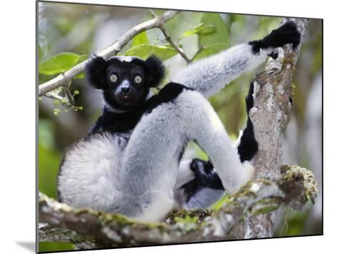 Indri Lemur Sitting on a Tree, Andasibe-Mantadia National Park, Madagascar--Mounted Photographic Print