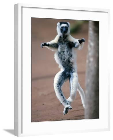 Verreaux's Sifaka Dancing in a Field, Berenty, Madagascar--Framed Art Print