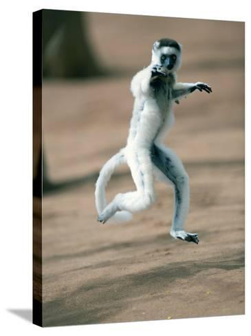 Verreaux's Sifaka Dancing in a Field, Berenty, Madagascar--Stretched Canvas Print