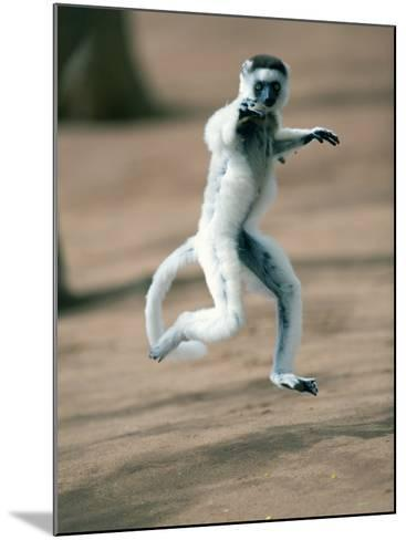 Verreaux's Sifaka Dancing in a Field, Berenty, Madagascar--Mounted Photographic Print