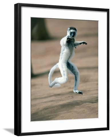 Verreaux's Sifaka Dancing in a Field, Berenty, Madagascar--Framed Art Print