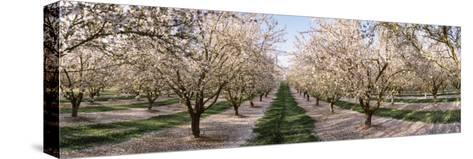 Almond Trees in an Orchard, Central Valley, California, USA--Stretched Canvas Print