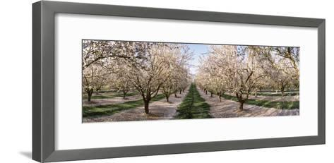 Almond Trees in an Orchard, Central Valley, California, USA--Framed Art Print