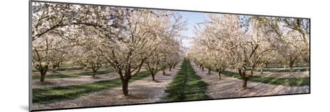 Almond Trees in an Orchard, Central Valley, California, USA--Mounted Photographic Print