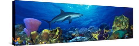 Caribbean Reef Shark Rainbow Parrotfish in the Sea--Stretched Canvas Print