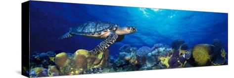 Hawksbill Turtle and French Angelfish with Stoplight Parrotfish--Stretched Canvas Print
