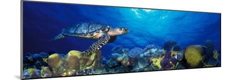 Hawksbill Turtle and French Angelfish with Stoplight Parrotfish--Mounted Photographic Print