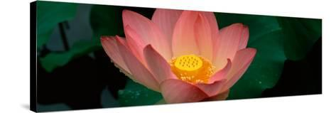 Lotus Blooming in a Pond--Stretched Canvas Print
