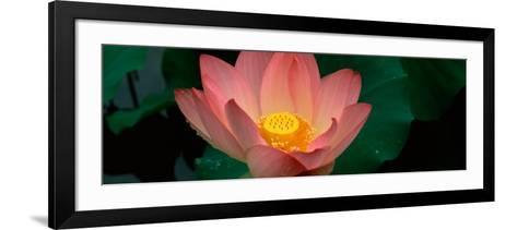 Lotus Blooming in a Pond--Framed Art Print