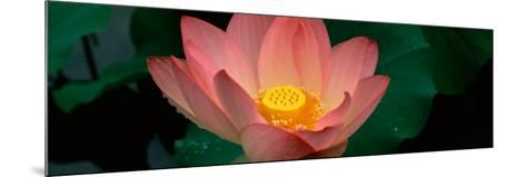 Lotus Blooming in a Pond--Mounted Photographic Print