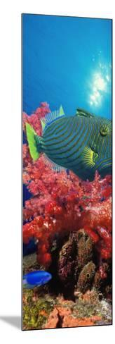 Orange-Lined Triggerfish and Soft Corals in the Ocean--Mounted Photographic Print