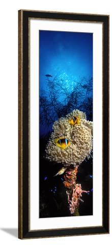 Sea Anemone and Allard's Anemonefish in the Ocean--Framed Art Print