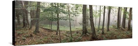 Trees in a Forest, Old Forge, Adirondack Mountains, Herkimer County, New York State, USA--Stretched Canvas Print