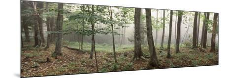 Trees in a Forest, Old Forge, Adirondack Mountains, Herkimer County, New York State, USA--Mounted Photographic Print