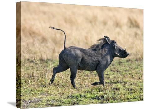 Katavi National Park, A Warthog Runs with its Tail in the Air, Tanzania-Nigel Pavitt-Stretched Canvas Print