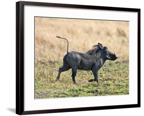 Katavi National Park, A Warthog Runs with its Tail in the Air, Tanzania-Nigel Pavitt-Framed Art Print