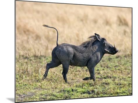 Katavi National Park, A Warthog Runs with its Tail in the Air, Tanzania-Nigel Pavitt-Mounted Photographic Print