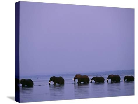 Herd of Elephants Cross the Zambezi River in Line-John Warburton-lee-Stretched Canvas Print
