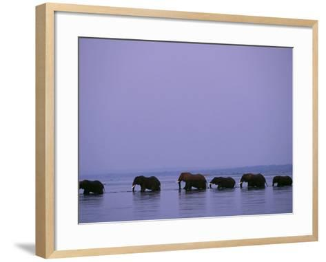 Herd of Elephants Cross the Zambezi River in Line-John Warburton-lee-Framed Art Print