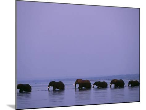 Herd of Elephants Cross the Zambezi River in Line-John Warburton-lee-Mounted Photographic Print