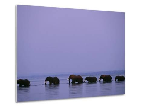 Herd of Elephants Cross the Zambezi River in Line-John Warburton-lee-Metal Print