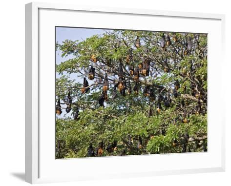 Burma, Rakhine State, Fruit Bats Spend the Day Hanging from the Branches of Large Trees, Myanmar-Nigel Pavitt-Framed Art Print