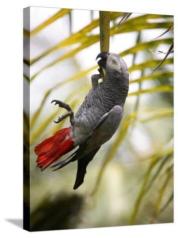 This African Grey Parrot is known as the Papa Gaio Do Principé-Camilla Watson-Stretched Canvas Print