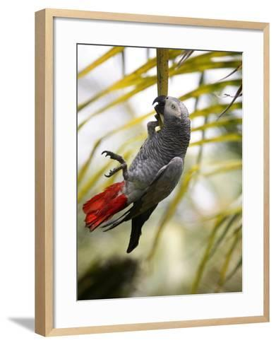 This African Grey Parrot is known as the Papa Gaio Do Principé-Camilla Watson-Framed Art Print