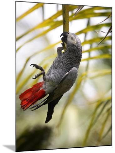 This African Grey Parrot is known as the Papa Gaio Do Principé-Camilla Watson-Mounted Photographic Print