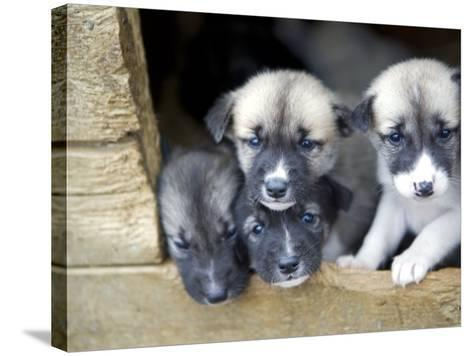 Troms, Tromso, Young Husky Puppies, Bred for a Dog Sledding Centre, Crowd Kennel Doorway , Norway-Mark Hannaford-Stretched Canvas Print