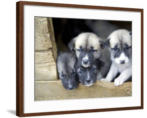 Troms, Tromso, Young Husky Puppies, Bred for a Dog Sledding Centre, Crowd Kennel Doorway , Norway-Mark Hannaford-Framed Art Print