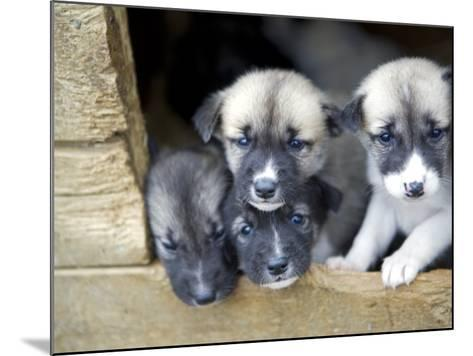Troms, Tromso, Young Husky Puppies, Bred for a Dog Sledding Centre, Crowd Kennel Doorway , Norway-Mark Hannaford-Mounted Photographic Print