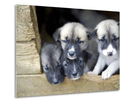 Troms, Tromso, Young Husky Puppies, Bred for a Dog Sledding Centre, Crowd Kennel Doorway , Norway-Mark Hannaford-Metal Print
