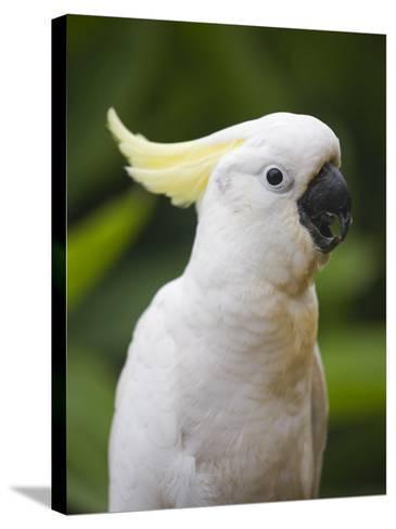 Queensland, Brisbane, Sulphur-Crested Cockatoo, Australia-Andrew Watson-Stretched Canvas Print