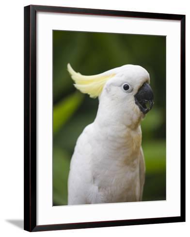 Queensland, Brisbane, Sulphur-Crested Cockatoo, Australia-Andrew Watson-Framed Art Print