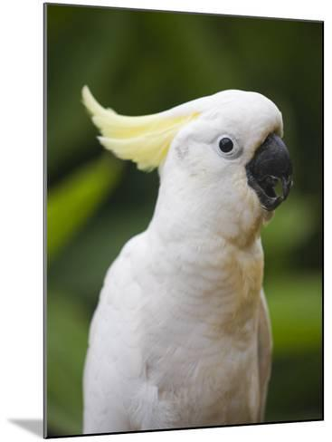 Queensland, Brisbane, Sulphur-Crested Cockatoo, Australia-Andrew Watson-Mounted Photographic Print