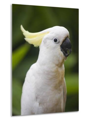 Queensland, Brisbane, Sulphur-Crested Cockatoo, Australia-Andrew Watson-Metal Print