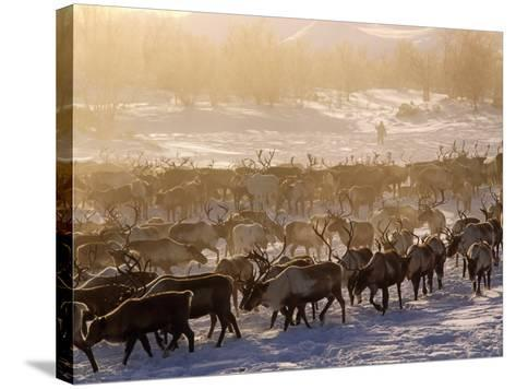 Kamchakta, Herding Reindeer across the Winter Tundra, Palana, Kamchatka, Russian Far East, Russia-Nick Laing-Stretched Canvas Print
