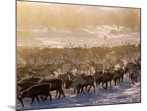 Kamchakta, Herding Reindeer across the Winter Tundra, Palana, Kamchatka, Russian Far East, Russia-Nick Laing-Mounted Photographic Print
