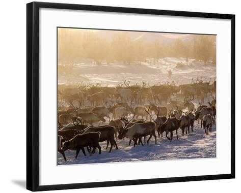 Kamchakta, Herding Reindeer across the Winter Tundra, Palana, Kamchatka, Russian Far East, Russia-Nick Laing-Framed Art Print
