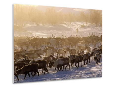 Kamchakta, Herding Reindeer across the Winter Tundra, Palana, Kamchatka, Russian Far East, Russia-Nick Laing-Metal Print