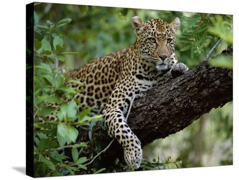 Female Leopard Rests in the Shade, Lying on the Branch of a Tree-John Warburton-lee-Stretched Canvas Print