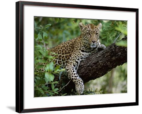 Female Leopard Rests in the Shade, Lying on the Branch of a Tree-John Warburton-lee-Framed Art Print