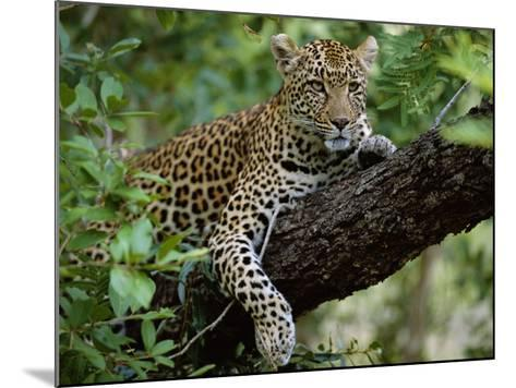 Female Leopard Rests in the Shade, Lying on the Branch of a Tree-John Warburton-lee-Mounted Photographic Print