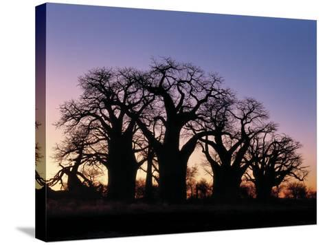 Dawn Sky Silhouettes from Grove of Ancient Baobab Trees, known as Baines' Baobabs, Botswana-Nigel Pavitt-Stretched Canvas Print