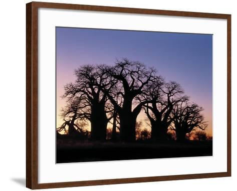 Dawn Sky Silhouettes from Grove of Ancient Baobab Trees, known as Baines' Baobabs, Botswana-Nigel Pavitt-Framed Art Print
