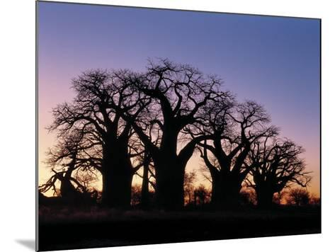 Dawn Sky Silhouettes from Grove of Ancient Baobab Trees, known as Baines' Baobabs, Botswana-Nigel Pavitt-Mounted Photographic Print