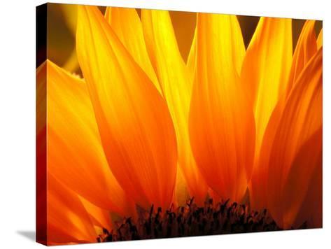 Sunflower-Nadia Isakova-Stretched Canvas Print