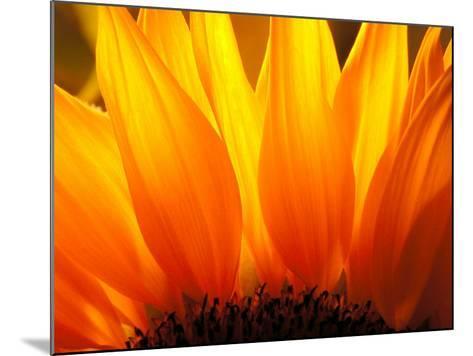 Sunflower-Nadia Isakova-Mounted Photographic Print