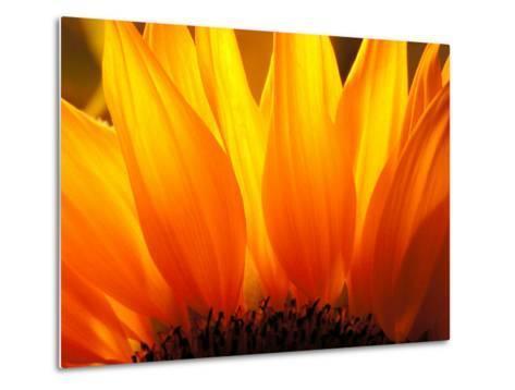 Sunflower-Nadia Isakova-Metal Print